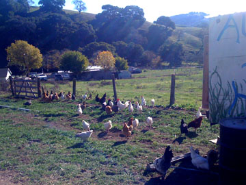 Chickens on a Working Farm in California