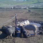 Hang with the Pigs at a Working Farm