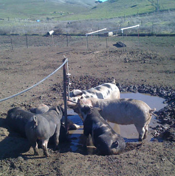 Pigs at a Working Farm