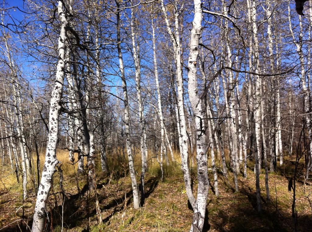 Aspen Trees in Lake Tahoe