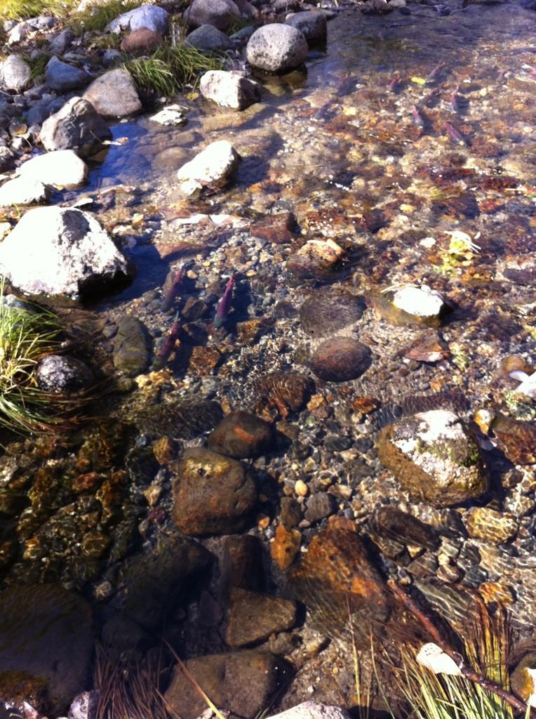 Salmon Run spawning in Lake Tahoe