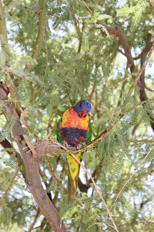 Lorikeets at Ostrich Farm