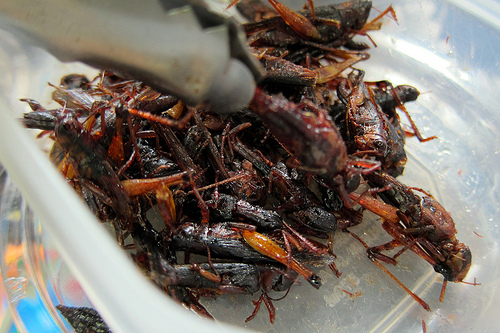 Edible Fried Crickets