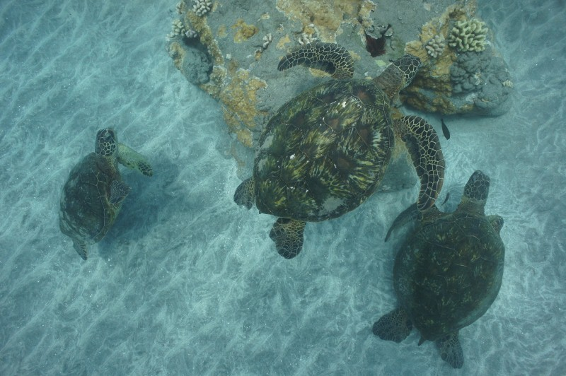Swimming with Sea Turtles in Olowalu Maui