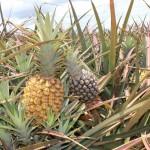 Face Pineapple Gluttony in Hali'imaile, Hawaii