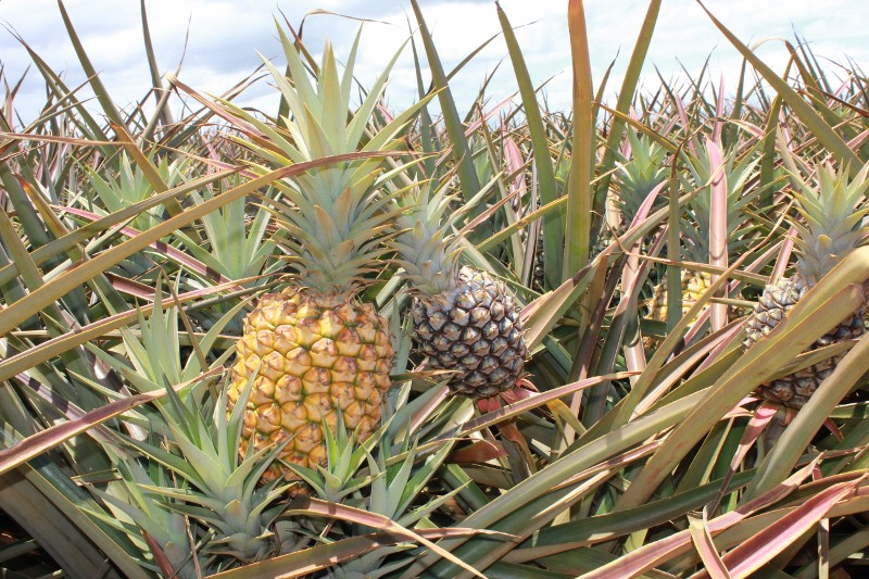 Pineapple at the Maui Pineapple Farm