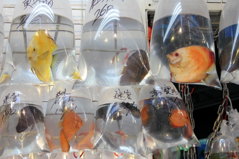 Visiting an offbeat asian market hong kong 39 s goldfish market for Oriental fish market