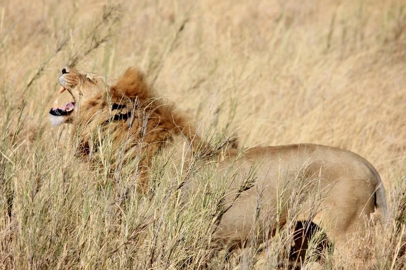 Roaring Lion on Safari