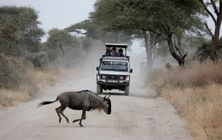 African Safari Wildebeest
