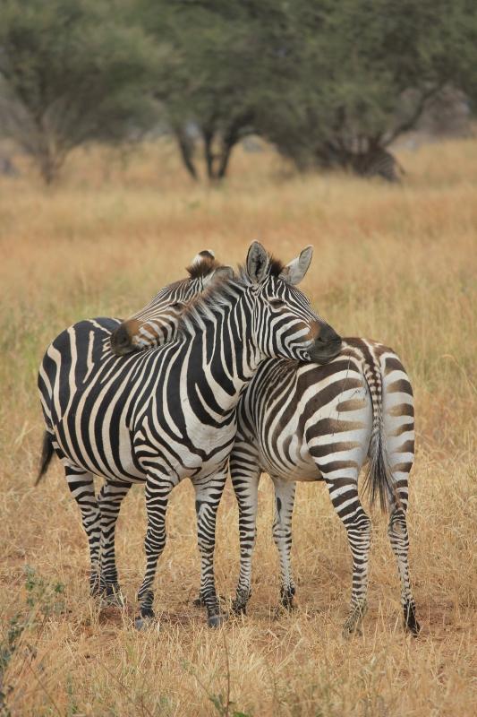 Zebras on Africa Safari in Tanzania