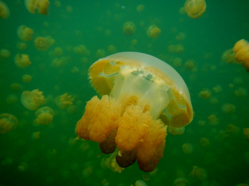 Jellyfish Lake in Palau, Micronesia