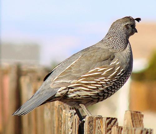 California State Bird - California Quail