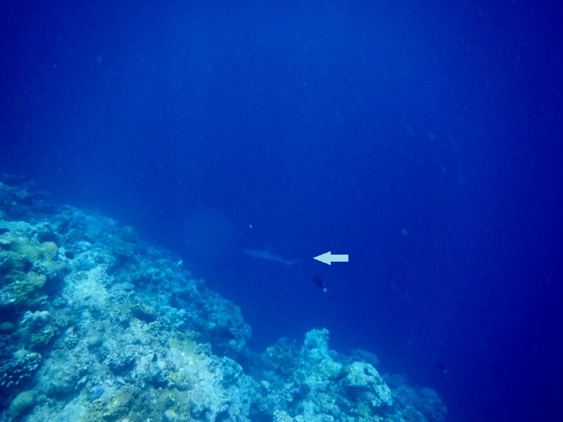 Shark at Blue Corner in Palau