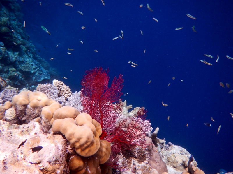 Snorkling New Drop Off in Palau Island, Micronesia