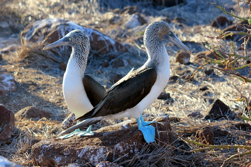 Blue-footed Booby Bird in Galapagos Islands