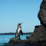See Galapagos Penguins in the Wild