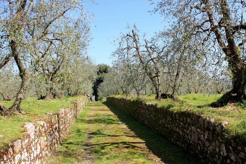 Olive Trees in Tuscany, Italy