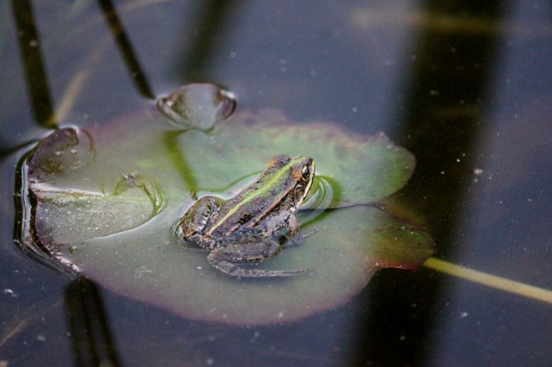 Frog on a Lily Pad in Tuscany