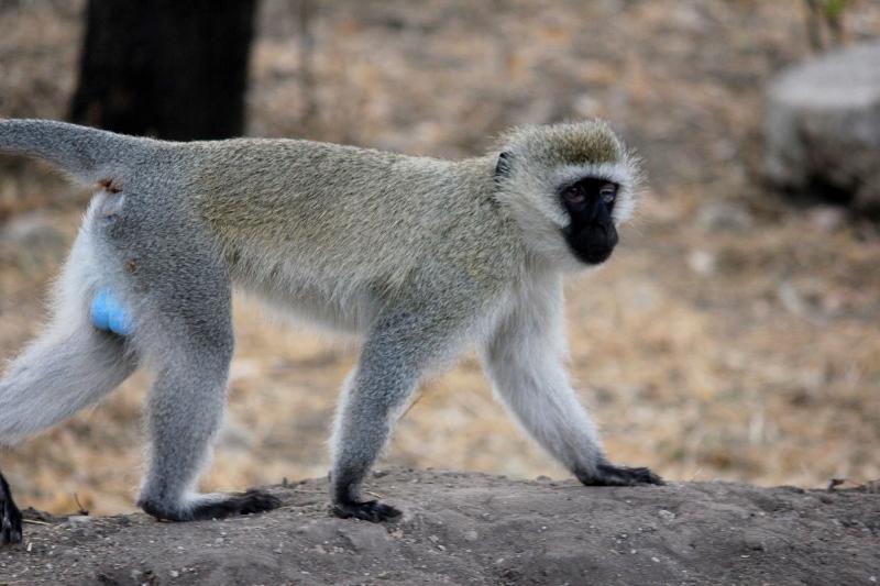 Velvet Monkey on Safari in Africa