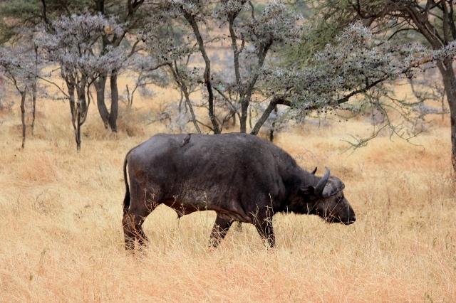 Cape Buffalo on African Safari in Tanzania