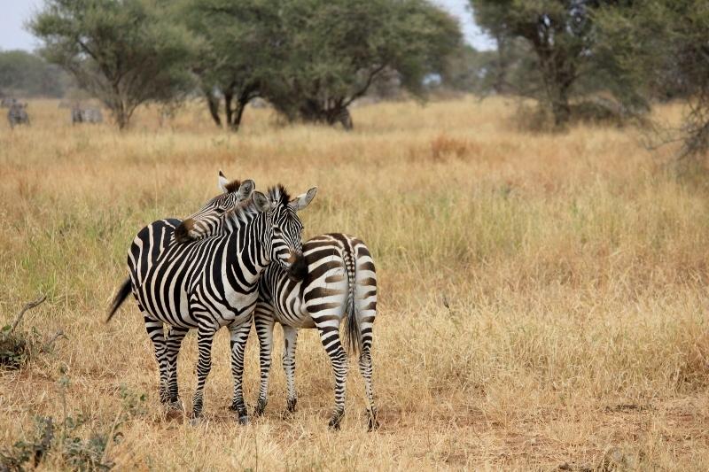 Hugging Zebra on African Safari in Tanzania
