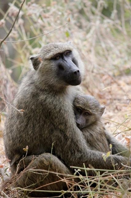 Baboons on an African Safari in Tanzania