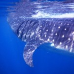 Swim With Whale Sharks. Cancun, Mexico.