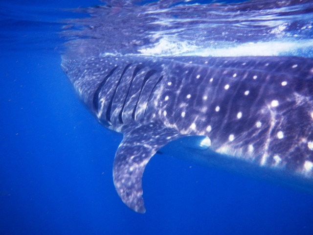 Swimming with Whale Sharks Cancun, Mexico
