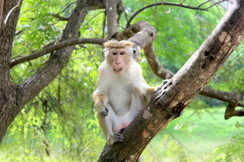 Monkey at Sigiriya in Sri Lanka