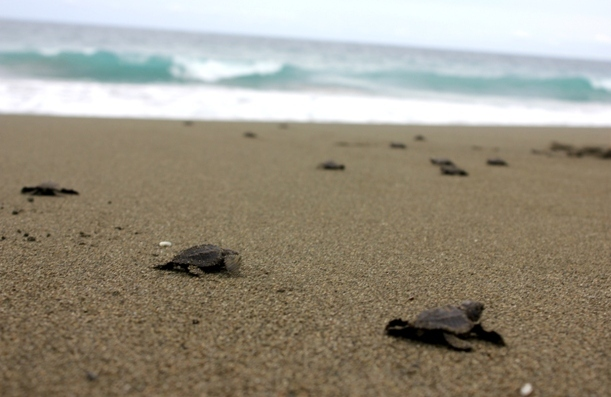 Releasing Baby Turtles in the Osa Peninsula, Costa Rica