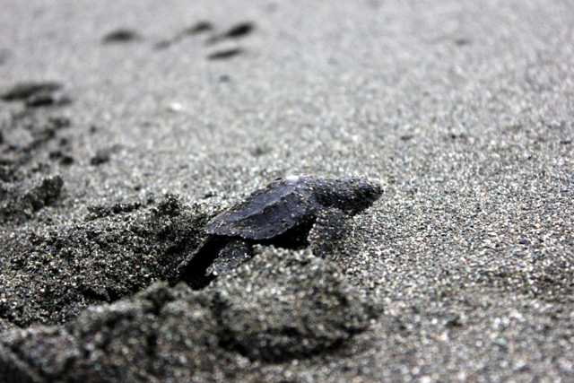 Turtle Nesting in Osa Peninsula, Costa Rica