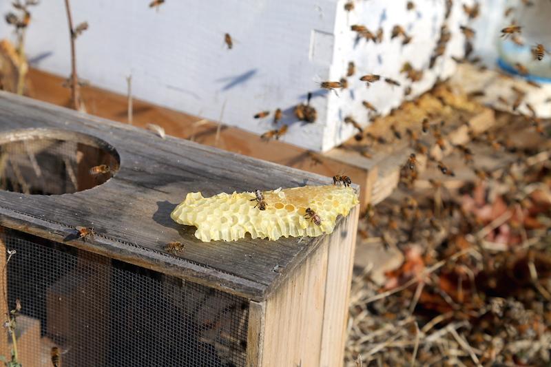 Honeycomb and bees while Beekeeping Petaluma