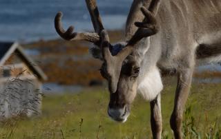 Reindeer North Cape Nordkapp Norway