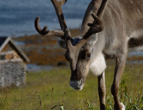Eat Reindeer in Northern Norway. #NaughtyList