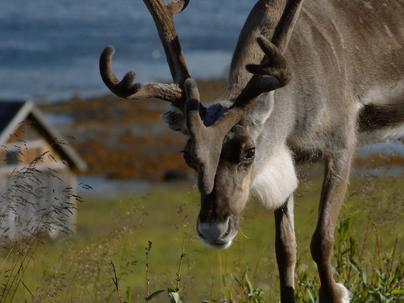 Reindeer North Cape Nordkapp Norway