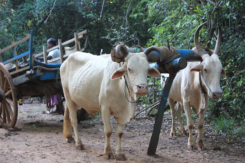 Oxcart on the Hiriwaduna Village Trek in Sri Lanka