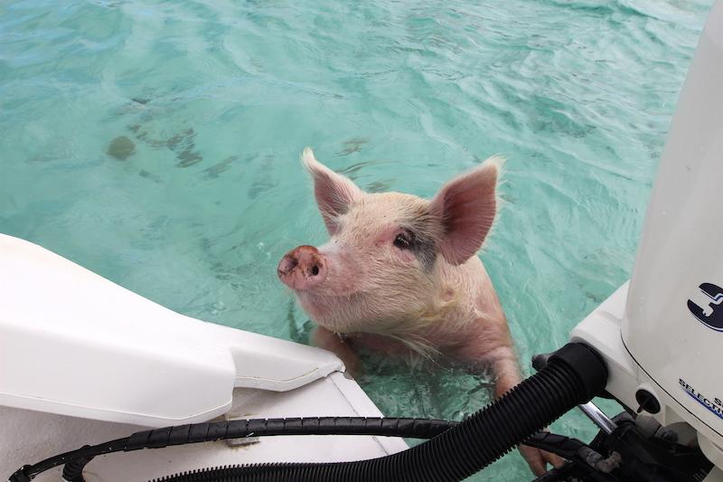 The swimming pigs of Exuma, Bahamas