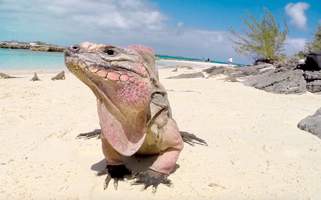 An iguana on the island in Exuma