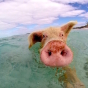 Feed the Swimming Pigs in Exuma » Bahamas