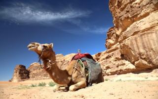 A camel in Wadi Rum Jordan