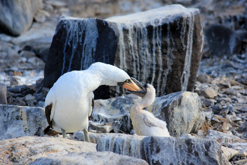 a mama bird feeding is young in the Galapagos Islands