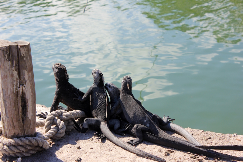 Marine iguanas on the dock in the Galapagos Islands
