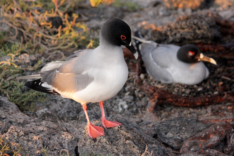 Swallow tailed gull in the Galapagos Islands