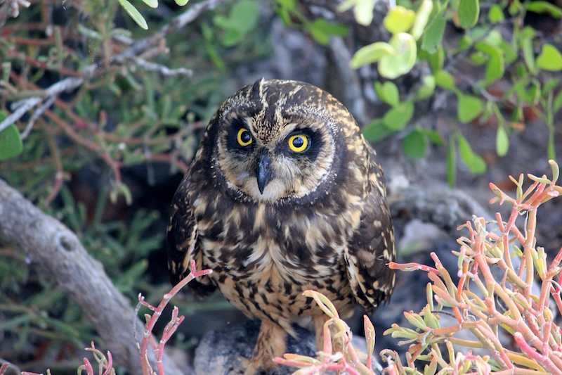 An owl in the Galapagos Islands in South America