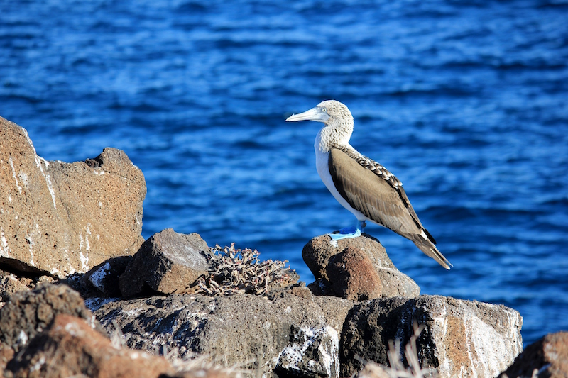 Blue Footed Booby Galapagos Islands in South America