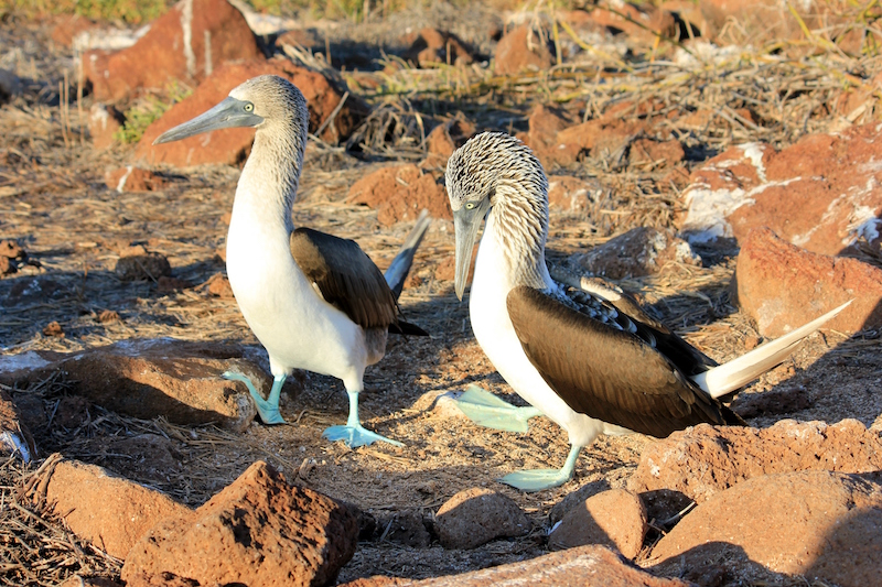 Blue Footed Booby Mating Dance in Galapagos Islands in South America