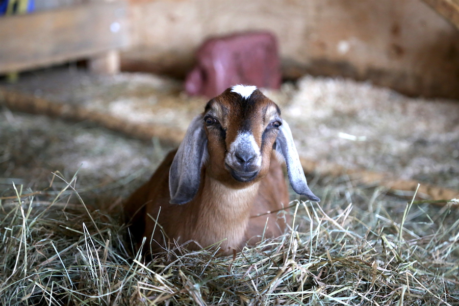 A cute goat at the Groovy Goat Farm in Nova Scotia
