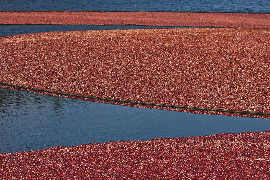 Foodie Bucket List: Wade through a cranberry bog