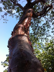 tree at Gumbalimba Park