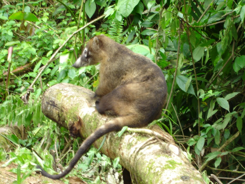 coati animal on a log